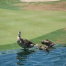 Ducks, Szabo Group, Joe Szabo, Joseph Szabo, Scottsdale Real Estate, Scottsdale Home for Sale, Scottsdale, Arizona, Scottsdale Arizona, Scottsdale Real Estate Agent